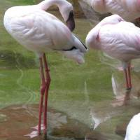 Flamingos in the Wild - Mexico Art Prints & Posters by Carolyn Leete