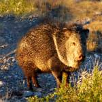 """Javalina"" by roadsnottraveled"