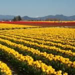 """Skagit Valley Tulips"" by austinsloan"