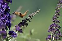 Rufous Hummingbird at Buddleia