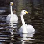 """Pair of Whooper Swans"" by travelpicspro"