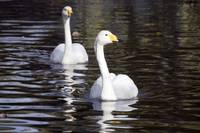 Pair of Whooper Swans
