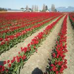 """Skagit Valley Tulips"" by austinsloan"