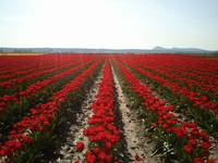 Skagit Valley Tulips
