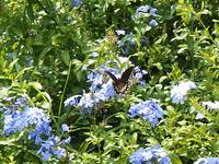 Butterfly and Blue Flowers 2