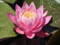 Botanical - Water Lily - Outdoors Floral