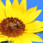 """Buzzzy Bees on a Sunflower"" by pjrossphotos"