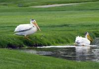 Pelicans Enjoy a Water Hazard