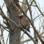 """Northern Flicker - Littleton History Museum"" by pjrossphotos"