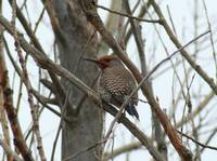 Northern Flicker - Littleton History Museum