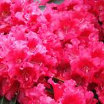 """""""Vibrant Pink Rhodies Flower Garden art print"""" by BasleeTroutman"""