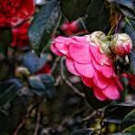 """196-(Pink-Camillia)-Crisp-(Descanso-La-Canada)-Feb"" by manusferrea"