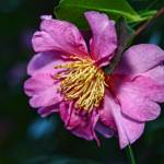 """""""Pink Camellia"""" by manusferrea"""