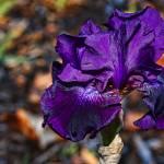 """Purple Iris"" by manusferrea"