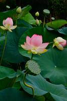 Lotus Pond View A