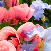 Pink Poppies & Ice Blue Irises 1