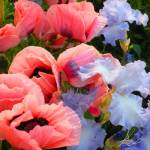 """Pink Poppies & Ice Blue Irises 2"" by AzureElizabeth"