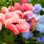 """Pink Poppies & Ice Blue Irises 3"" by AzureElizabeth"