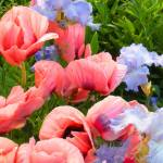 """Pink Poppies & Ice Blue Irises 6"" by AzureElizabeth"