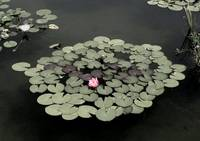 Water Lilies VI