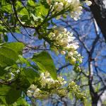 """White Lilac"" by AzureElizabeth"