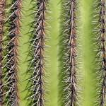 """Southwest Saguaro Cactus Close-Up Vertical"" by lightningman"