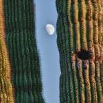 """Southwest Saguaro Cactus Close-Up  With Moon Verti"" by lightningman"