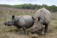 Two Rhinoceros
