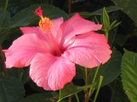 California Hibiscus