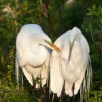 """""""Pair of Great Egret"""" by journeymangallery"""