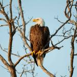 """""""Bald Eagle at Wiggins Pass"""" by journeymangallery"""