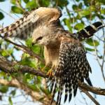 """""""Red shouldered Hawk with wings open"""" by journeymangallery"""