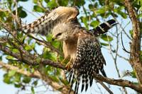 Red shouldered Hawk with wings open