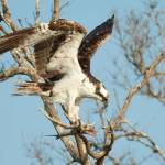 """Osprey with Fish"" by journeymangallery"