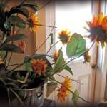 """""""Sunflowers in Pots"""" by jbjoani2"""