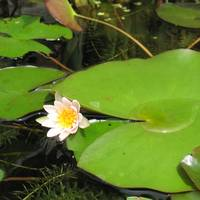 Water Lilies X
