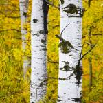 """Line of Birch"" by johnmclaird"