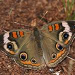 """Beautiful Buckeye Butterfly"" by Livetolaughandlove"