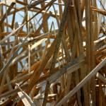 """Reeds-1"" by rasvihlik"