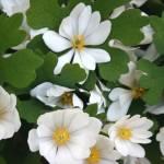 """White flower of sping"" by rasvihlik"
