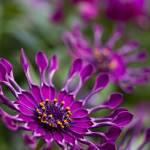 """""""Amethyst Flowers"""" by jgraber"""