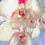 """white orchid"" by pietrastone"