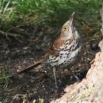 """Brown Thrasher- hey anymore food up there"" by cameragal"