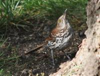 Brown Thrasher- hey anymore food up there