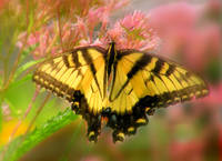 Beautiful Yellow Butterfly