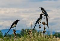 Noisy Magpies