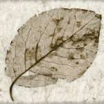 """Skeleton Leaf on Rice Paper"" by vincent-field_photography"