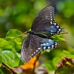"""Pipevine Swallowtail Butterfly"" by FlattenPhotography"