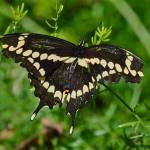 """Giant Swallowtail Butterfly"" by FlattenPhotography"