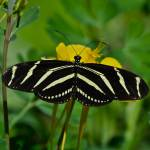 """Zebra Longwing Butterfly"" by FlattenPhotography"